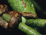 Brown Tree Boa Constrictor Wrapped Around a Tree Branch Photographic Print by Tim Laman