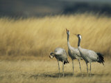 Trio of Common Cranes in Tall Grass Photographic Print by Klaus Nigge
