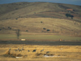 Common Cranes in a Field with Hills in Distance Photographic Print by Klaus Nigge