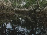 Michael Nichols - Lagoon Where Watermarks on Mangrove Roots Show Depth Changes Fotografická reprodukce