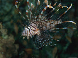 Lionfish with Dangerous Fins Spread Photographic Print by Tim Laman