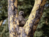 An Olive Baboon Perched in a Fever Thorn Tree Photographic Print by Tim Laman