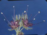 Phacelia Flowers at the Tip of a Foot-Long Stem Photographic Print by Paul Zahl