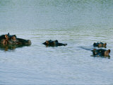 Four Hippopotamuses Poke Their Heads out of the Water Photographic Print by Nicole Duplaix