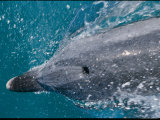 A Bottlenose Dolphin Darts Through the Water Photographic Print by Nicole Duplaix