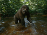 Lowland Gorilla Playing in a Stream Photographic Print