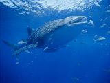 A Whale Shark Searches for its Next Meal Photographic Print by Brian J. Skerry