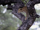 A Leopard Views its Surroundings from a Tree Photographic Print by Tim Laman