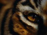 Close View of Tigers Eye Photographic Print by Michael Nichols