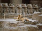A Stray Dog Rests on the Remnants of a Pedestal Fotografisk trykk av Stephen St. John