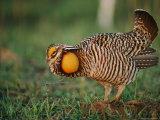 A Prairie-Chicken Photographic Print by Joel Sartore