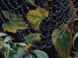 Close-up of Portion of a Lacey Spiderweb Beaded with Dew Photographic Print by Paul Zahl