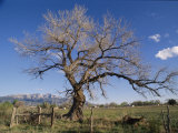A Cottonwood Tree Photographic Print by Richard Nowitz
