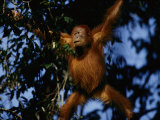 An Orangutan Climbs a Tree Photographic Print by Michael Nichols