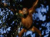 An Orangutan Climbs a Tree Photographic Print by Michael Nichols