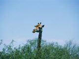 Nicole Duplaix - A Giraffe Stands Above the Surrounding Vegetation Fotografická reprodukce