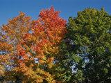 Three Trees Showing Variations in Autumnal Color Fotografisk trykk av Stephen St. John