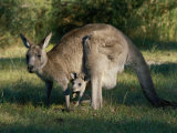 View of an Eastern Grey Kangaroo with Young Fotoprint van Nicole Duplaix