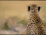 Close View of a Cheetah Seen from the Rear Photographic Print by Michael Nichols