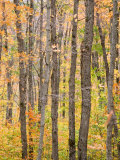 A View of Trees in a Forest on an Autumn Day Photographic Print by Taylor S. Kennedy