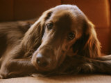Close View of an Irish Setter Photographic Print