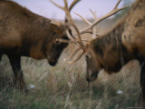Two Caribou Lock Antlers in Competition Photographic Print by Joel Sartore