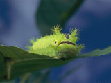 Close-up of a Caterpillar Eating a Leaf Photographic Print