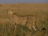 African Cheetah Standing in the Grass Photographic Print by Michael Nichols
