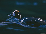 Harlequin Duck Swimming Through the Water Photographic Print by Bates Littlehales