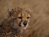 African Cheetah Cub Photographic Print by Michael Nichols