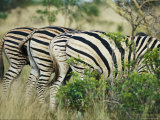 Rear End View of Four Zebras Photographic Print by Nicole Duplaix