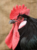 A Minorca Rooster is Pictured in Front of a Burlap Background Fotografie-Druck von Joel Sartore