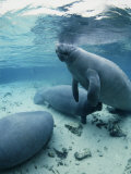 An Underwater Shot of Florida Manatees Photographic Print by Brian J. Skerry