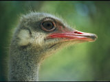 Close View of an Ostrich Photographic Print by Stephen St. John