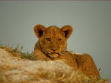 Close View of an African Lion Cub Photographic Print by Beverly Joubert