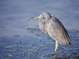 A Tri-Colored Heron Stands in Grassy, Shallow Water Photographic Print by Nicole Duplaix