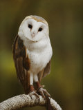 A Snowy-Faced Barn Owl is One of the Wildlife Exhibits at the Nature Station Fotografisk tryk af Raymond Gehman