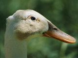 A Close View of a Duck with a Large Bill Photographic Print by Stephen St. John