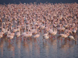 A Large Flock of Pink Flamingos in Shallow Water Photographic Print by Todd Gipstein