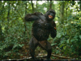 A Gorilla Beats its Chest to Achieve Recognition Within its Group Photographic Print