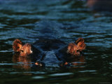 Submerged Hippopotamus Photographic Print by Chris Johns