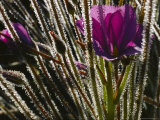 Close-up of a Byblis Plant Photographic Print by Paul Zahl