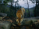 Indian Tiger Drinks from a Water Hole Photographic Print by Michael Nichols