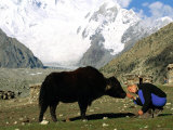A Woman Bows to Greet a Yak in Pakistan Photographic Print by Barry Tessman