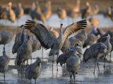 Sandhill Cranes Roost on the Platte River Near Kearney, Nebraska Photographie par Joel Sartore