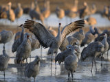 Sandhill Cranes Roost on the Platte River Near Kearney, Nebraska Photographic Print by Joel Sartore