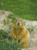 Arctic Ground Squirrel by its Burrow Photographic Print by Norbert Rosing