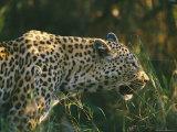 A Leopard Stalks its Prey Fotografisk tryk af Nicole Duplaix