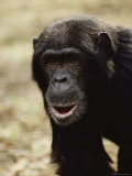 A Close-up of One of the Many Chimpanzees Studied by Jane Goodall at Gombe Stream National Park Photographic Print by Kenneth Love