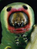 Close View of a Puss Moth Caterpillar Photographic Print by Darlyne A. Murawski